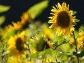 Dieses Motiv ist am 30.07.2021 neu in die Kategorie Sonnenblumen aufgenommen worden.