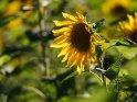 Dieses Motiv findet sich seit dem 19. Oktober 2020 in der Kategorie Sonnenblumen.