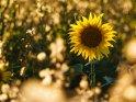Dieses Motiv ist am 03.09.2020 neu in die Kategorie Sonnenblumen aufgenommen worden.