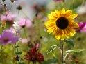 Dieses Kartenmotiv ist seit dem 30. Januar 2021 in der Kategorie Sonnenblumen.