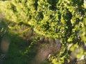 Dieses Motiv findet sich seit dem 29. September 2020 in der Kategorie Wein, Weinreben und Weintrauben.
