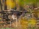 Weiblicher Damhirsch im herbstlichen Wald