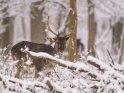 Dieses Kartenmotiv wurde am 31. Januar 2021 neu in die Kategorie Tierische Winterfotos aufgenommen.