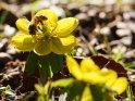 Winterling mit einer Biene