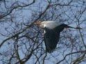 Fliegender Graureiher mit Nistmaterial    Dieses Motiv ist am 08.03.2021 neu in die Kategorie Tierische Frühlingsfotos aufgenommen worden.