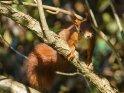 Dieses Motiv ist am 09.04.2021 neu in die Kategorie Eichhörnchen und andere Hörnchen aufgenommen worden.