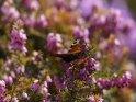 Pfauenauge    Dieses Motiv wurde am 17. April 2021 in die Kategorie Schmetterlinge eingefügt.