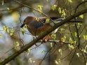 Eichelhäher    Dieses Motiv finden Sie seit dem 21. April 2021 in der Kategorie Vögel.