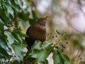 Amsel    Dieses Motiv ist am 01.05.2021 neu in die Kategorie Vögel aufgenommen worden.