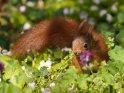 Dieses Motiv findet sich seit dem 16. April 2021 in der Kategorie Eichhörnchen und andere Hörnchen.