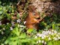 Dieses Motiv finden Sie seit dem 24. April 2021 in der Kategorie Eichhörnchen und andere Hörnchen.