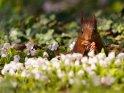 Dieses Motiv finden Sie seit dem 19. April 2021 in der Kategorie Eichhörnchen und andere Hörnchen.
