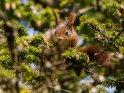 Dieses Motiv ist am 23.10.2021 neu in die Kategorie Eichhörnchen und andere Hörnchen aufgenommen worden.