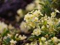 Schlüsselblume mit wilden Primeln    Dieses Motiv ist am 30.04.2021 neu in die Kategorie Frühlingsblumen aufgenommen worden.