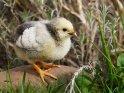 Dieses Motiv ist am 10.10.2021 neu in die Kategorie Enten, Gänse & Hühner aufgenommen worden.