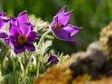 Kuhschellen    Dieses Motiv ist am 14.05.2021 neu in die Kategorie Frühlingsblumen aufgenommen worden.