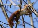 Dieses Motiv ist am 09.05.2021 neu in die Kategorie Eichhörnchen und andere Hörnchen aufgenommen worden.