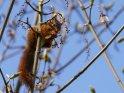 Dieses Motiv ist am 02.05.2021 neu in die Kategorie Eichhörnchen und andere Hörnchen aufgenommen worden.