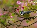 Blaumeise auf einem blühenden Zierapfel
