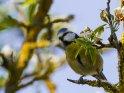Blaumeise auf einem blühenden Apfelbaum
