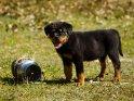 Rottweiler Welpe    Dieses Motiv ist am 23.10.2021 neu in die Kategorie Hunde aufgenommen worden.