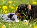 Rottweiler Welpe mit einem Handtuch liegt auf einer Wiese mit Löwenzahn.
