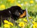 Rottweiler Welpe balanciert eine Leine auf der Nase