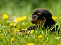 Rottweiler Welpe auf einer Wiese mit Löwenzahn