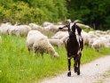 Ziege mit Schafen im Hintergrund