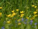 Butterblumen    Dieses Motiv ist am 12.06.2021 neu in die Kategorie Weitere Blumen aufgenommen worden.