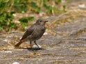 Weiblicher Hausrotschwanz    Dieses Motiv findet sich seit dem 20. Juli 2021 in der Kategorie Vögel.