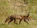Fuchs läuft über eine frisch gemähte Wiese    Dieses Motiv ist am 25.07.2021 neu in die Kategorie andere Tiere aufgenommen worden.