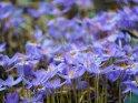 Herbstzeitlose    Dieses Motiv ist am 19.10.2021 neu in die Kategorie Herbstliche Blumenfotos aufgenommen worden.
