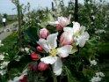 Apfelblüte mit einer Apfelplantage im Hintergrund