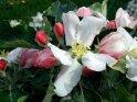 Apfelblüte umgeben von Knospen