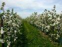 Blühende Apfelbäume im Alten Land