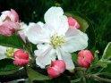 Nahaufnahme einer Apfelblüte