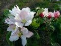 Apfelblüten und Knospen