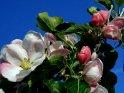 Apfelblüten vor strahlend blauem Hintergrund