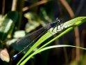 blaue Libelle sitzt auf einem Grashalm