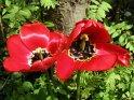 Zwei Rote Tulpen