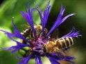 Nahaufnahme einer Kornblume mit Bienen