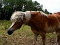 Pferd schüttelt den Kopf