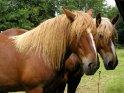 Zwei Pferde, die mal wieder zum Frisör müssen