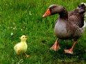 Küken mit Mutter (oder Vater)