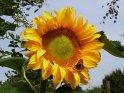 Hummel im Anflug auf eine Sonnenblume