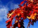 Im Herbst einer der farbigsten Bäume, die Kanadische Eiche