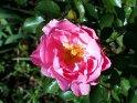 Rot-Rosa-Farbene Rose